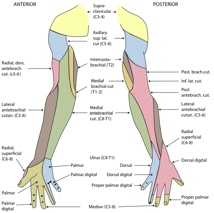 Cardiovascular page notes on. Elbow clipart left arm