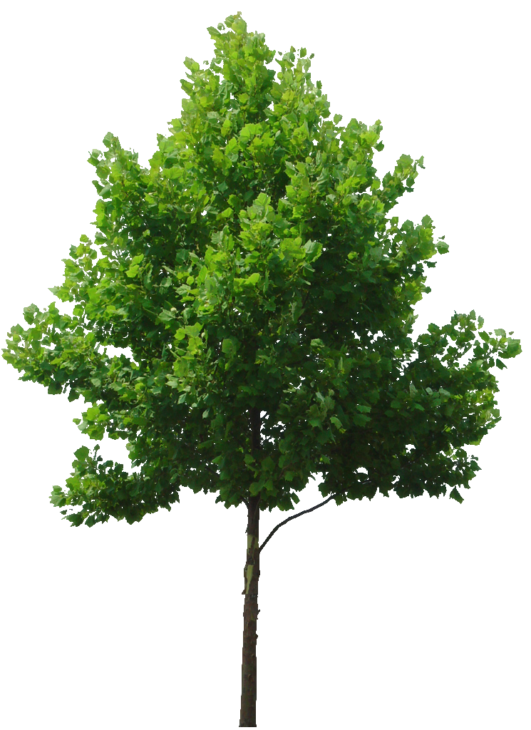 Europe clipart cut out. Deciduous tree for rendering