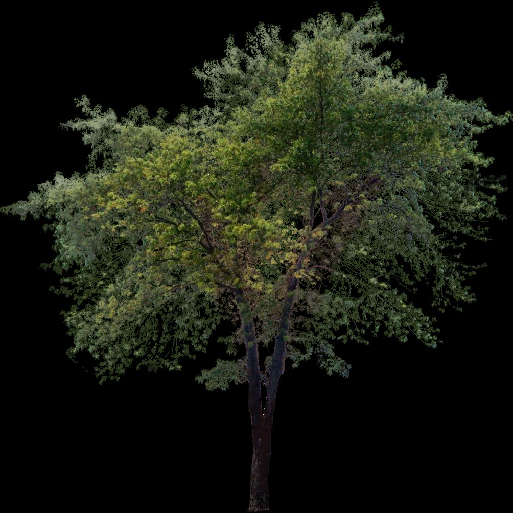 Short clipart tall tall tall tree. Png ph pinterest photoshop