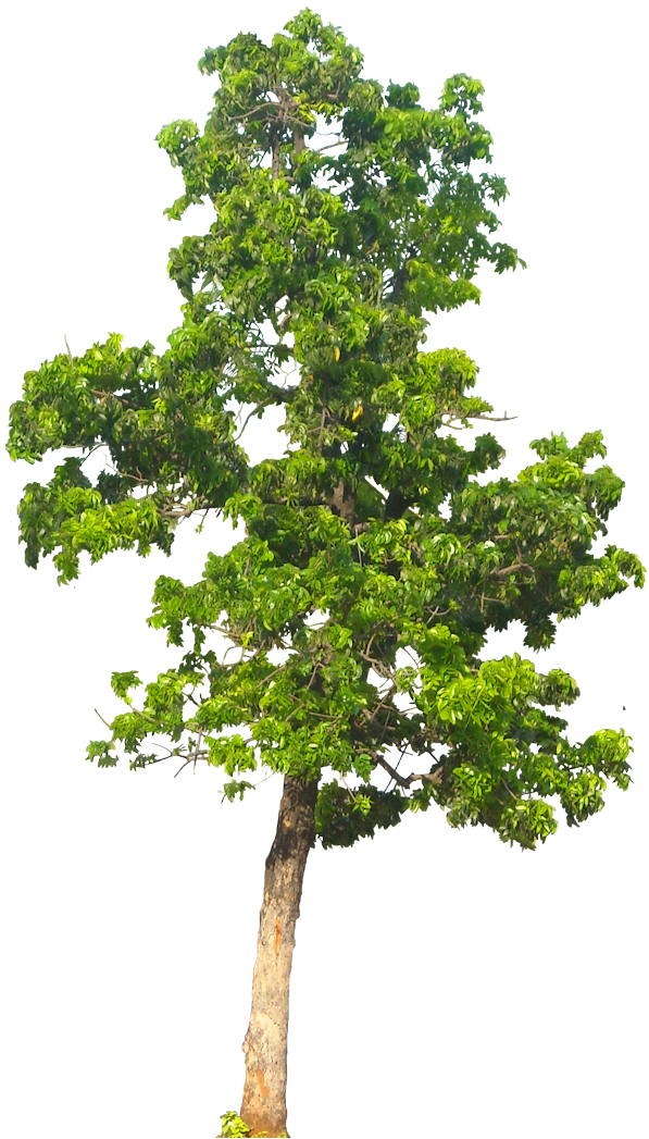 free tree png. Mango clipart psd