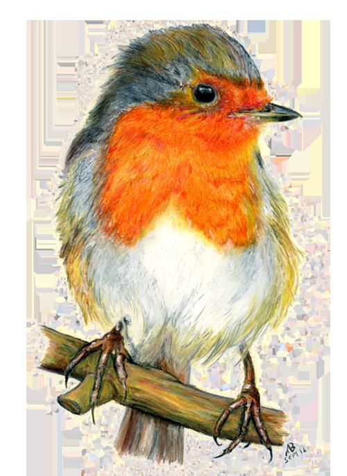 Robin red breast watercolour. Pencil clipart watercolor