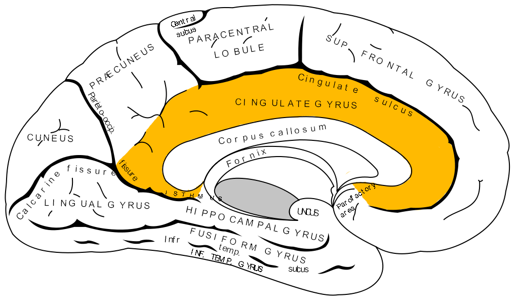 Isthmus of cingulate gyrus. Psychology clipart hippocampus brain