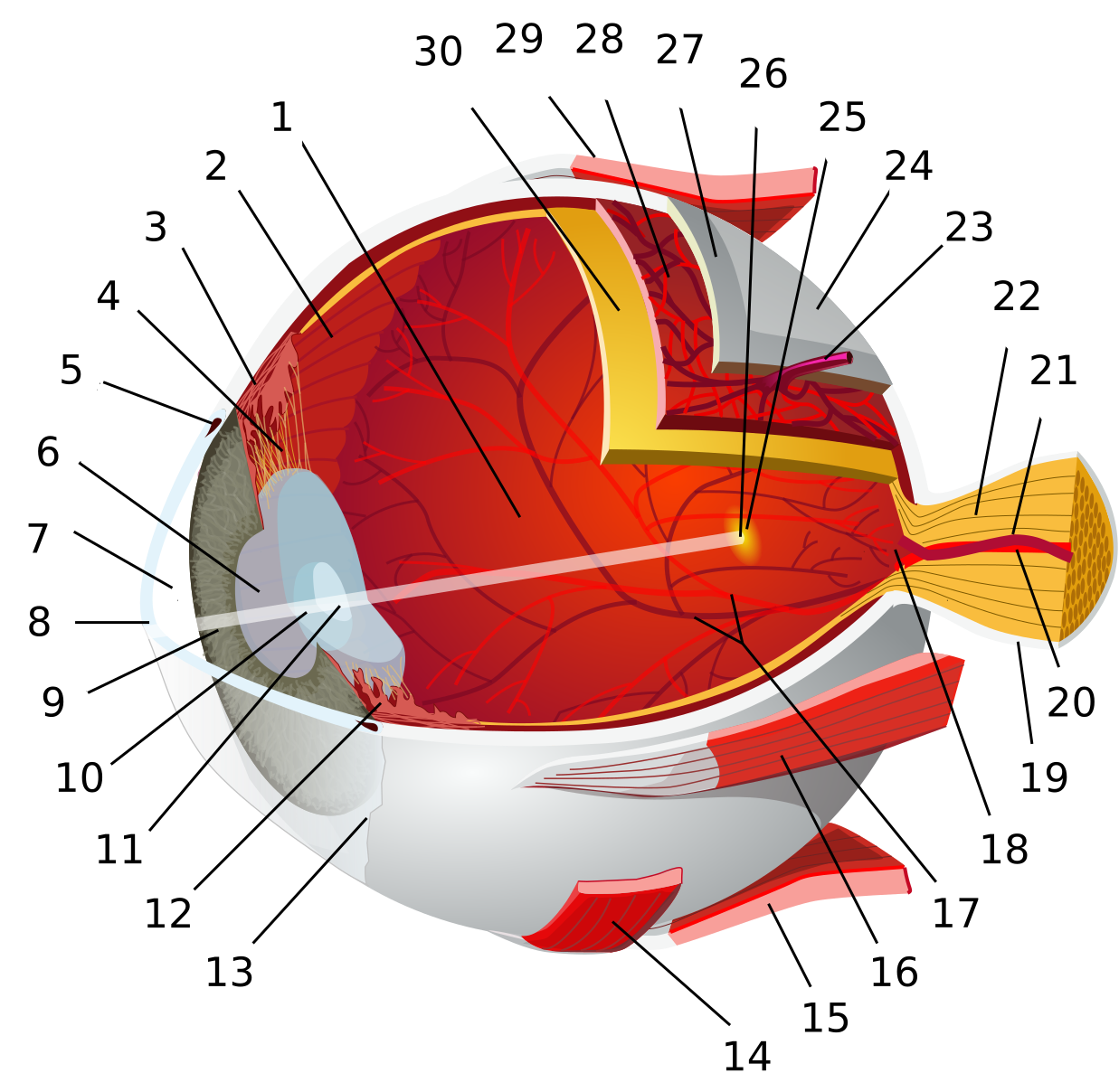 File eye diagram no. Eyeball clipart vein