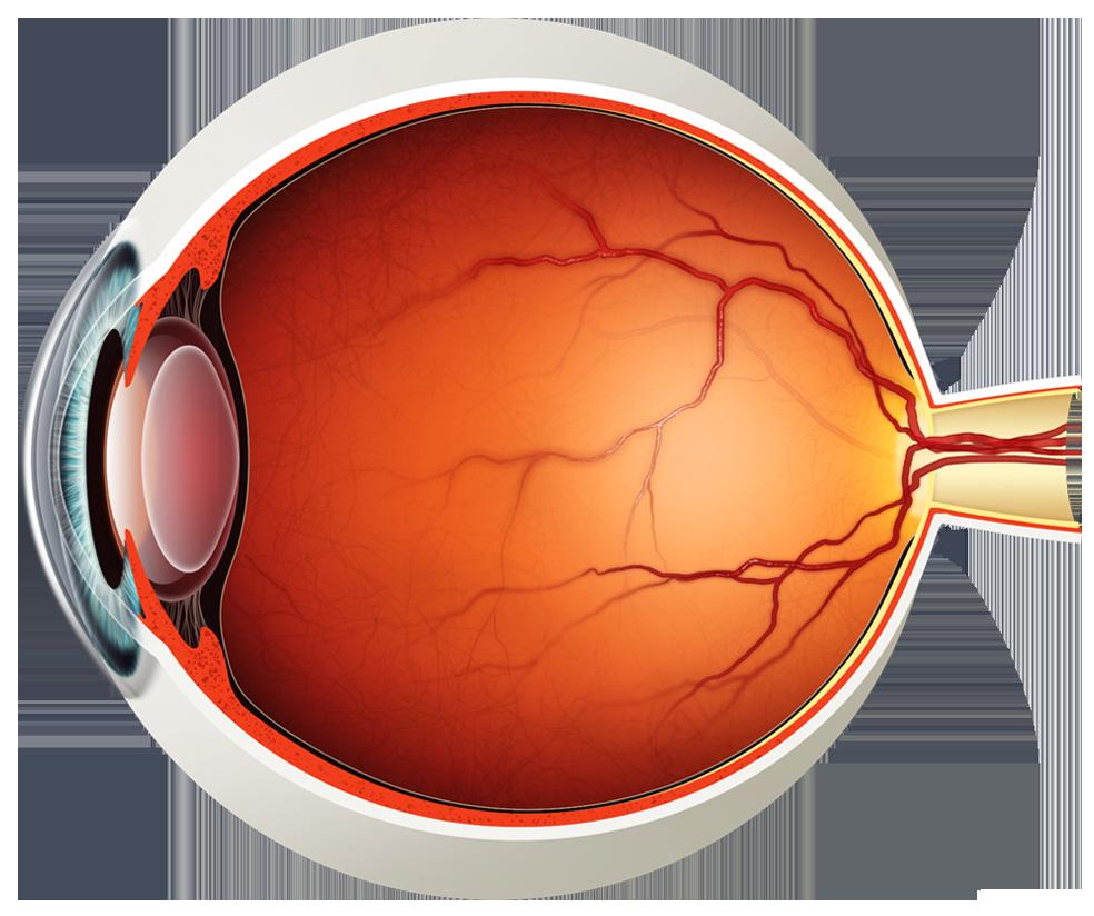 Eyeball clipart visual. Eye diagram