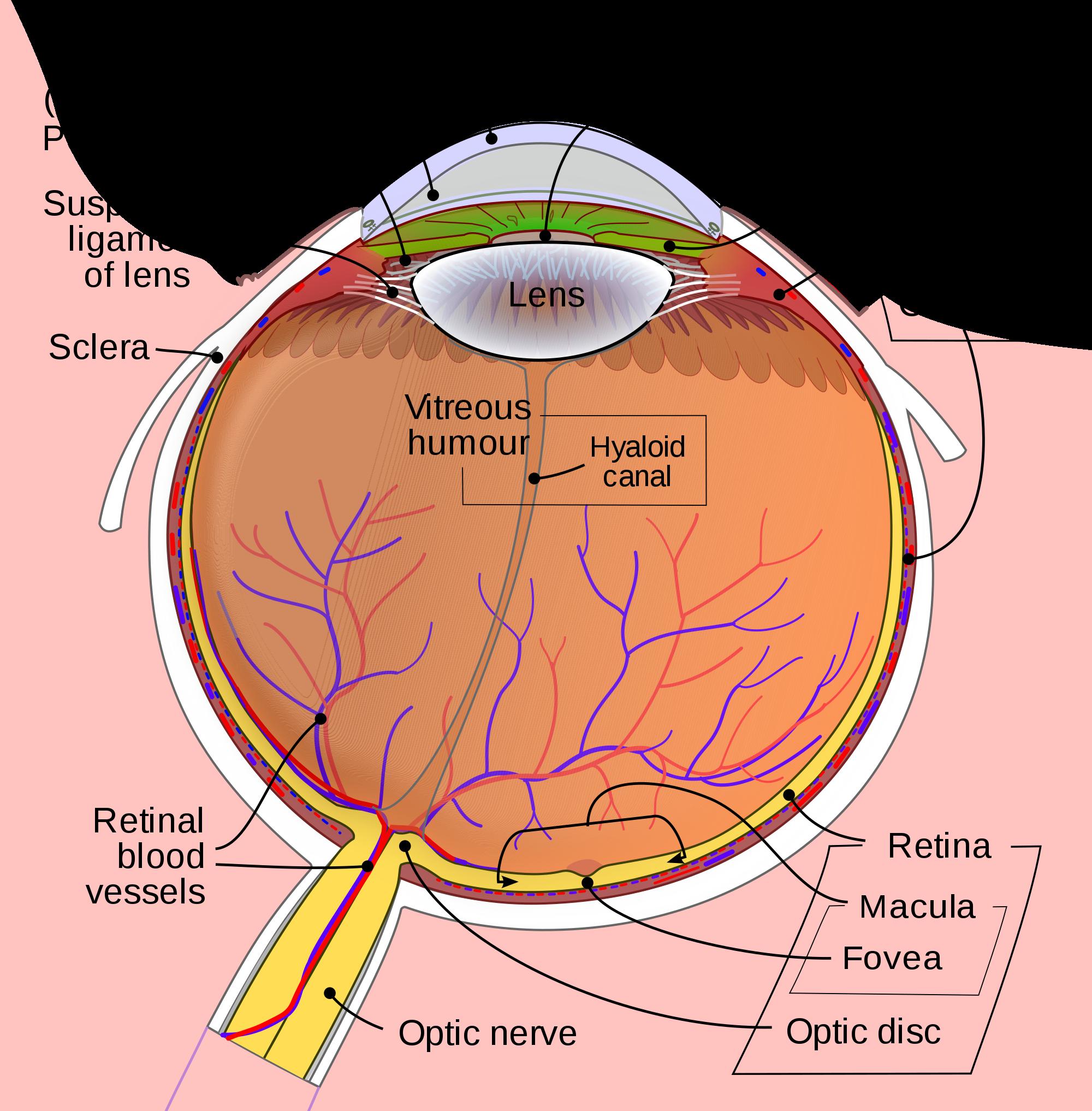 Eye wikipedia. Eyelashes clipart cilia