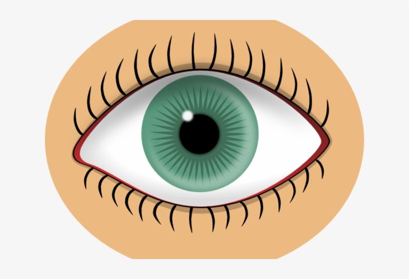 Organs eye free transparent. Eyes clipart sense