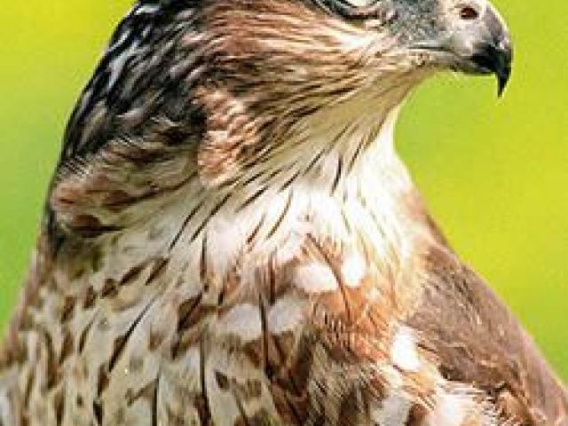 Free peregrine download clip. Falcon clipart chicken hawk