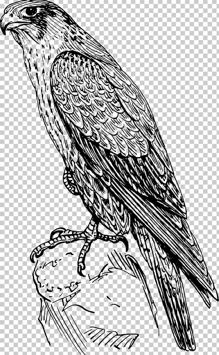 Falcon clipart drawing. Peregrine png animals art
