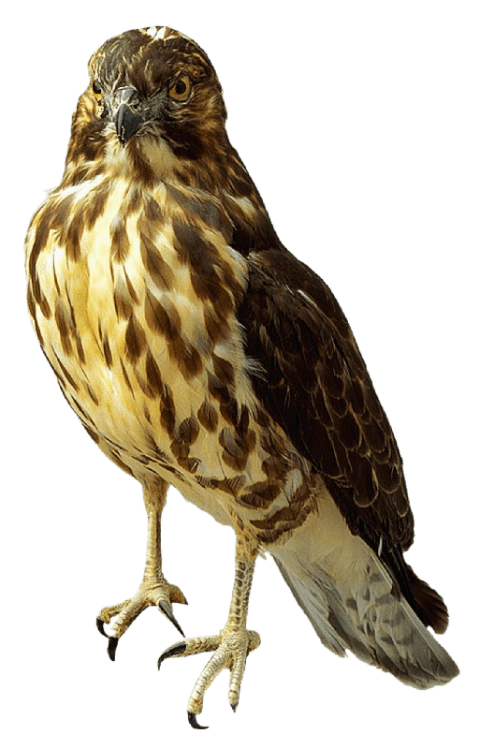 Png free images toppng. Falcon clipart falcon bird