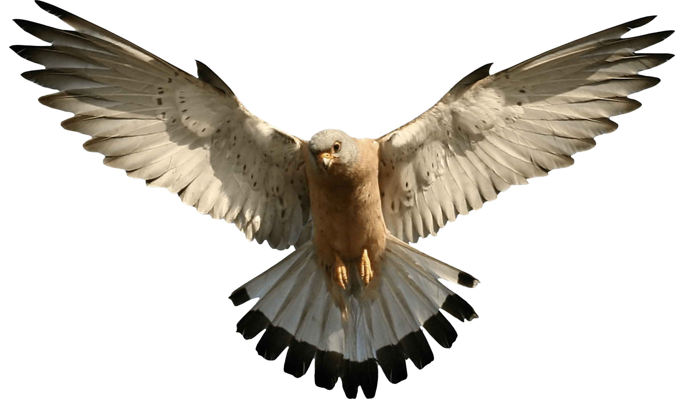 Transparent png stickpng. Falcon clipart flying falcon