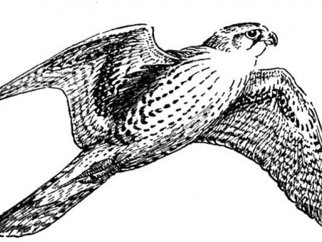 Free download clip art. Falcon clipart hand