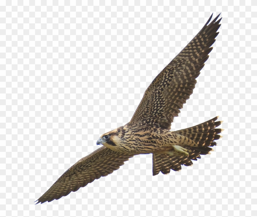 Falcon clipart harrier. Quotes png download