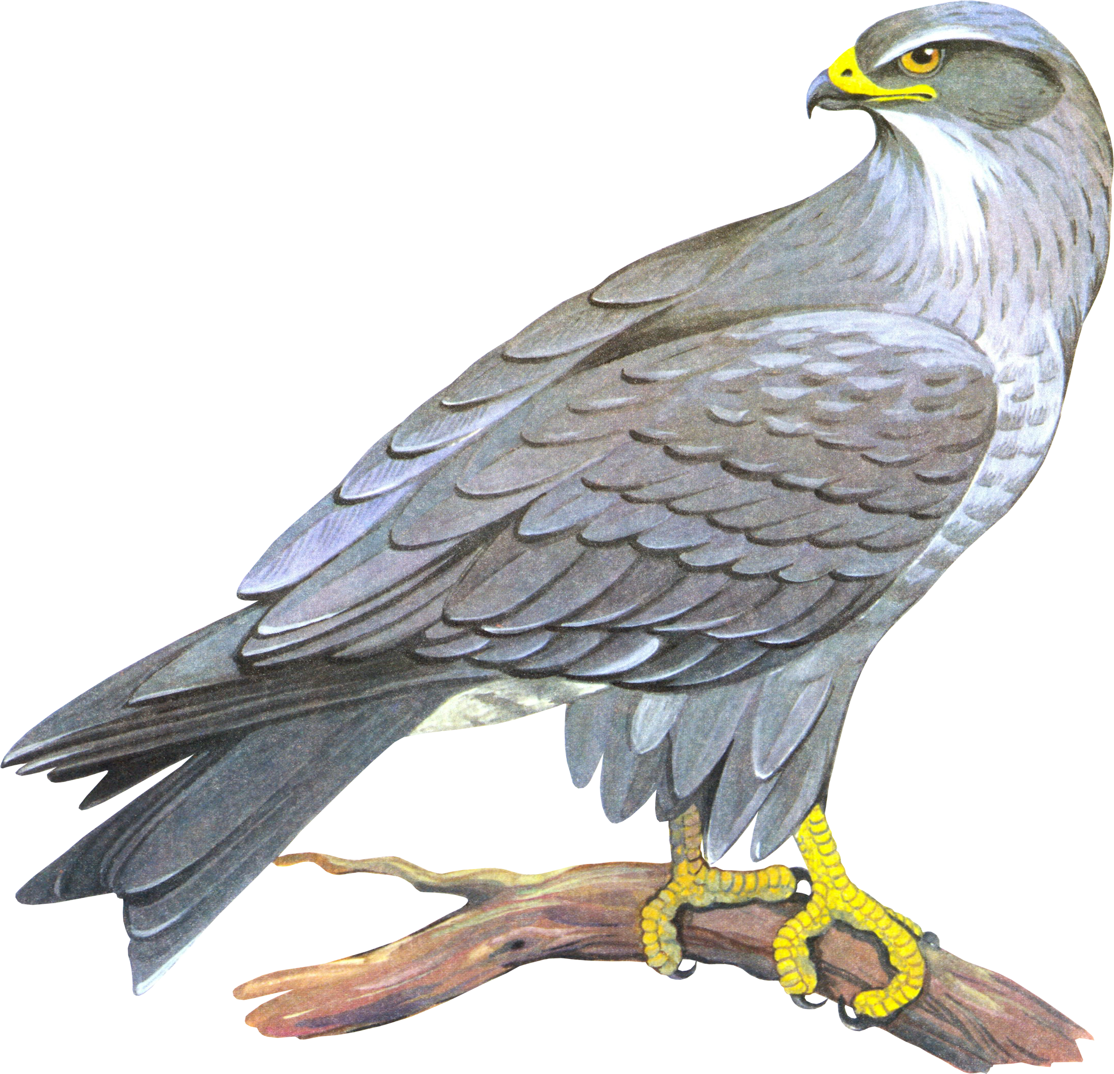 Png images free download. Falcon clipart harrier