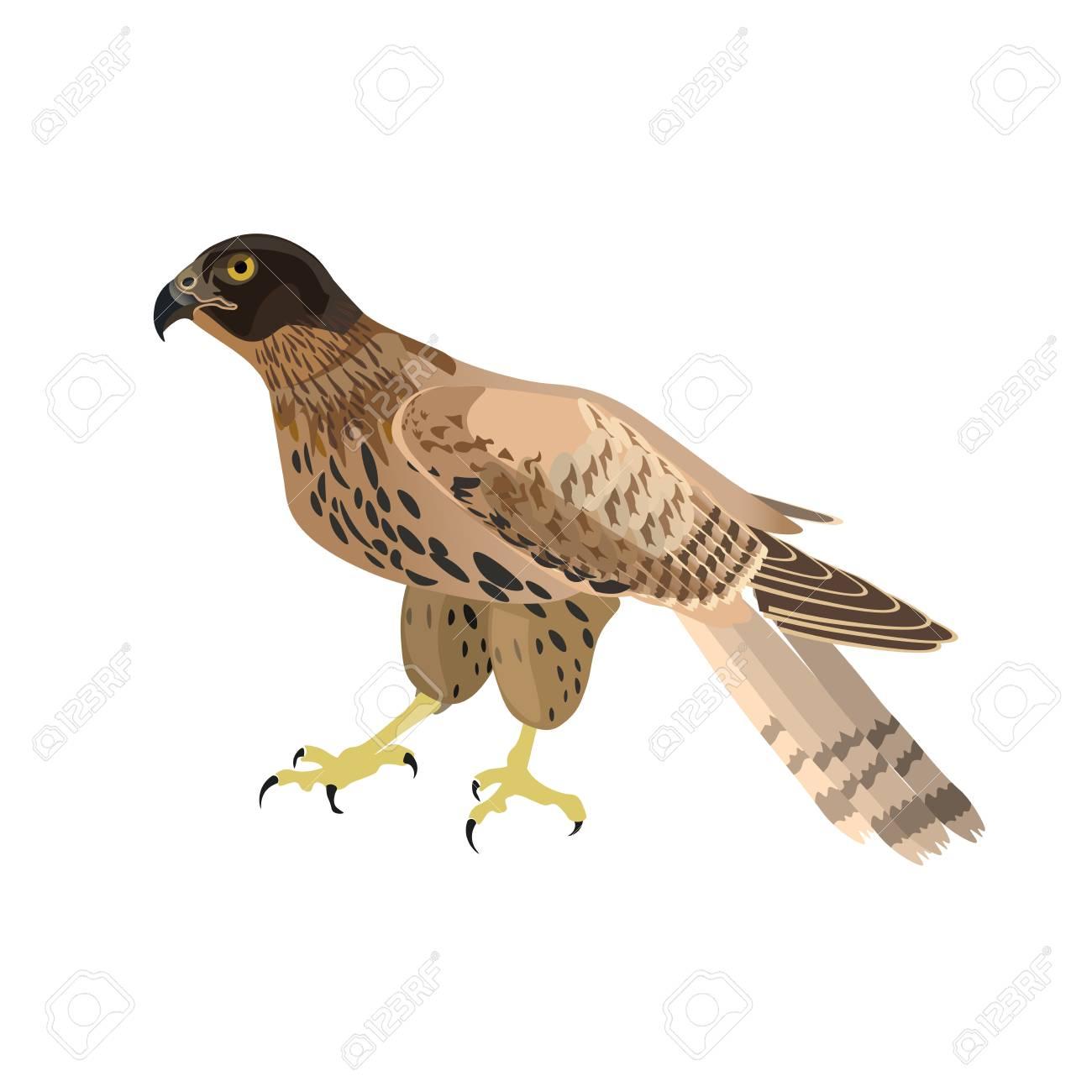 Falcon clipart harrier. Free download clip art