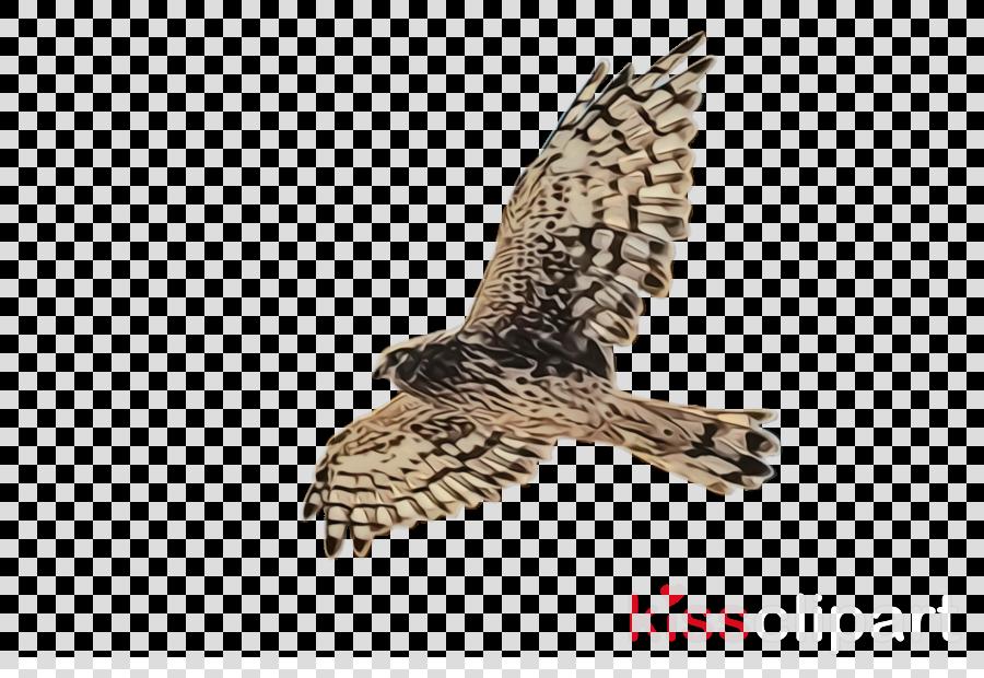 Bird of prey northern. Falcon clipart harrier