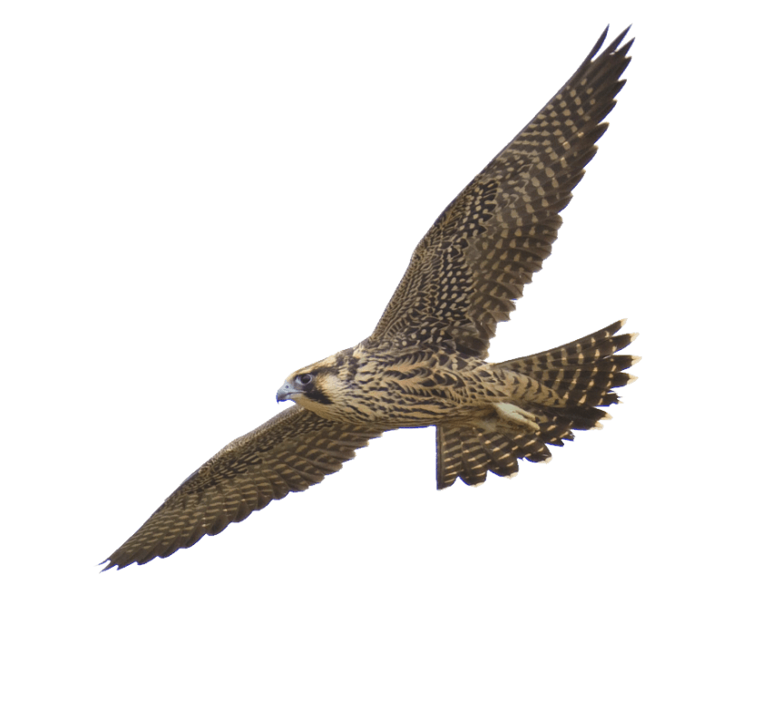 Png free images toppng. Falcon clipart harrier