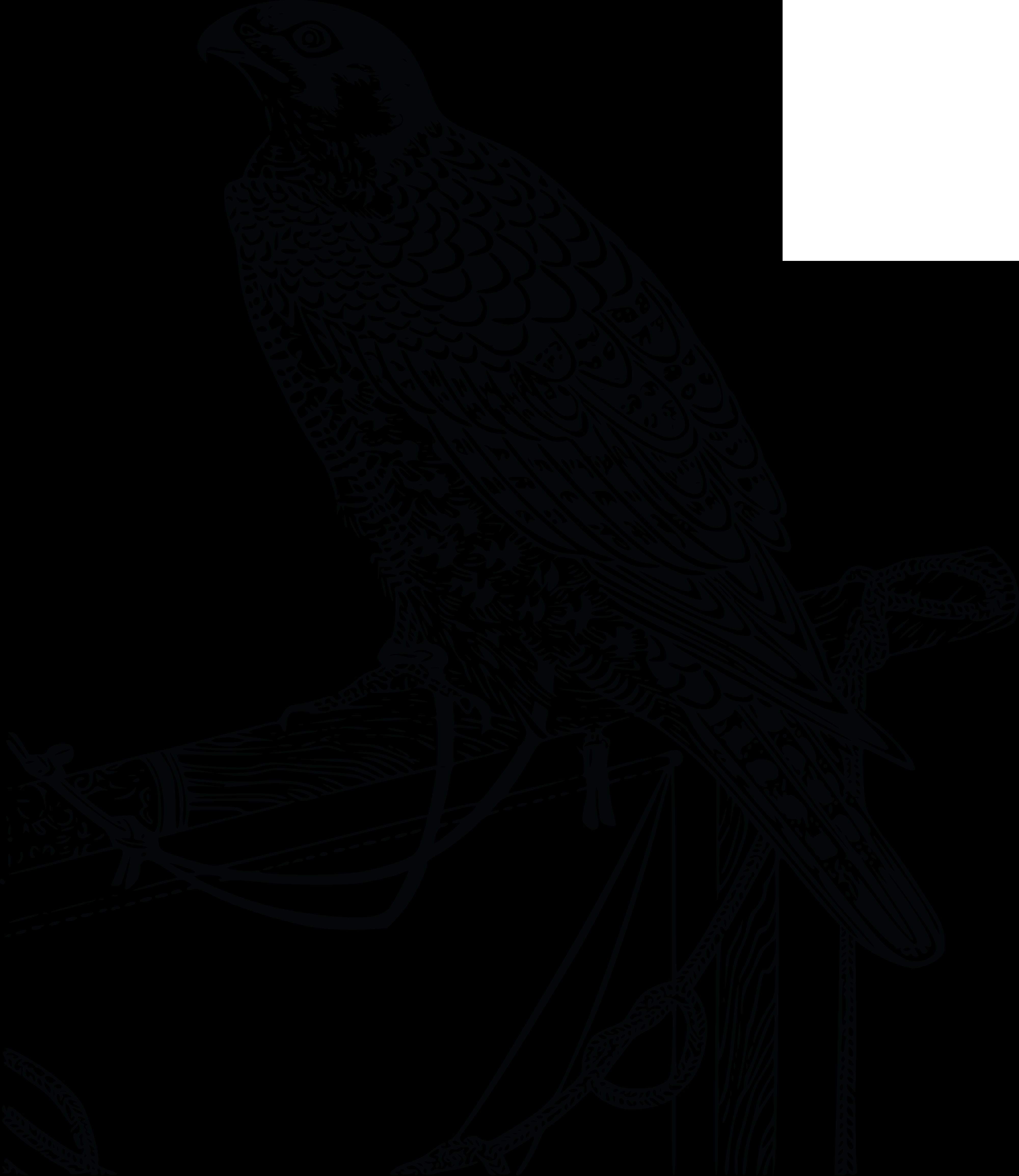 collection of cooper. Falcon clipart hawk harris