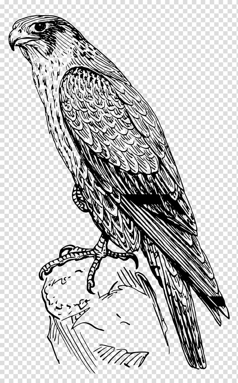 Peregrine coloring book drawing. Falcon clipart hawk