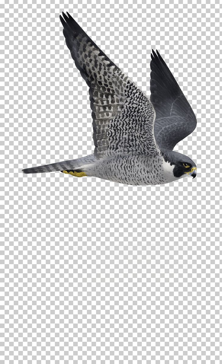Falcon clipart in flight. Bird peregrine flying and