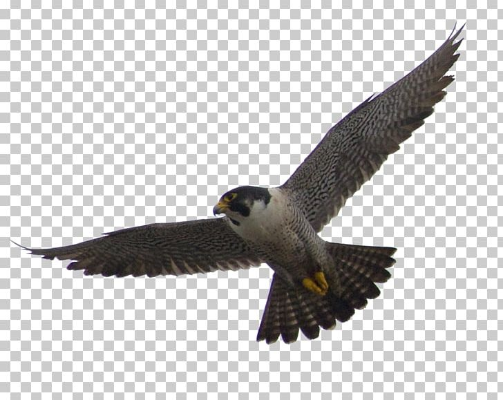 The peregrine bird png. Falcon clipart in flight