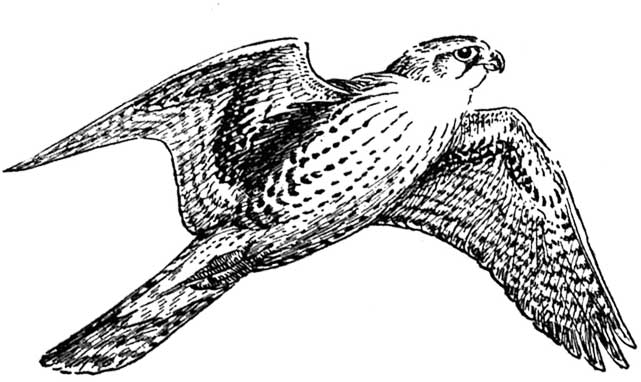Free images . Falcon clipart large bird