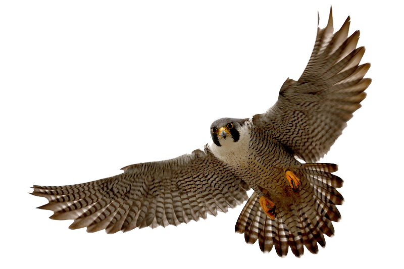 Clip art tumundografico wikiclipart. Falcon clipart mascot
