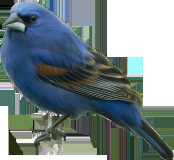 Falcon clipart oriole bird. Pin by janina stepp