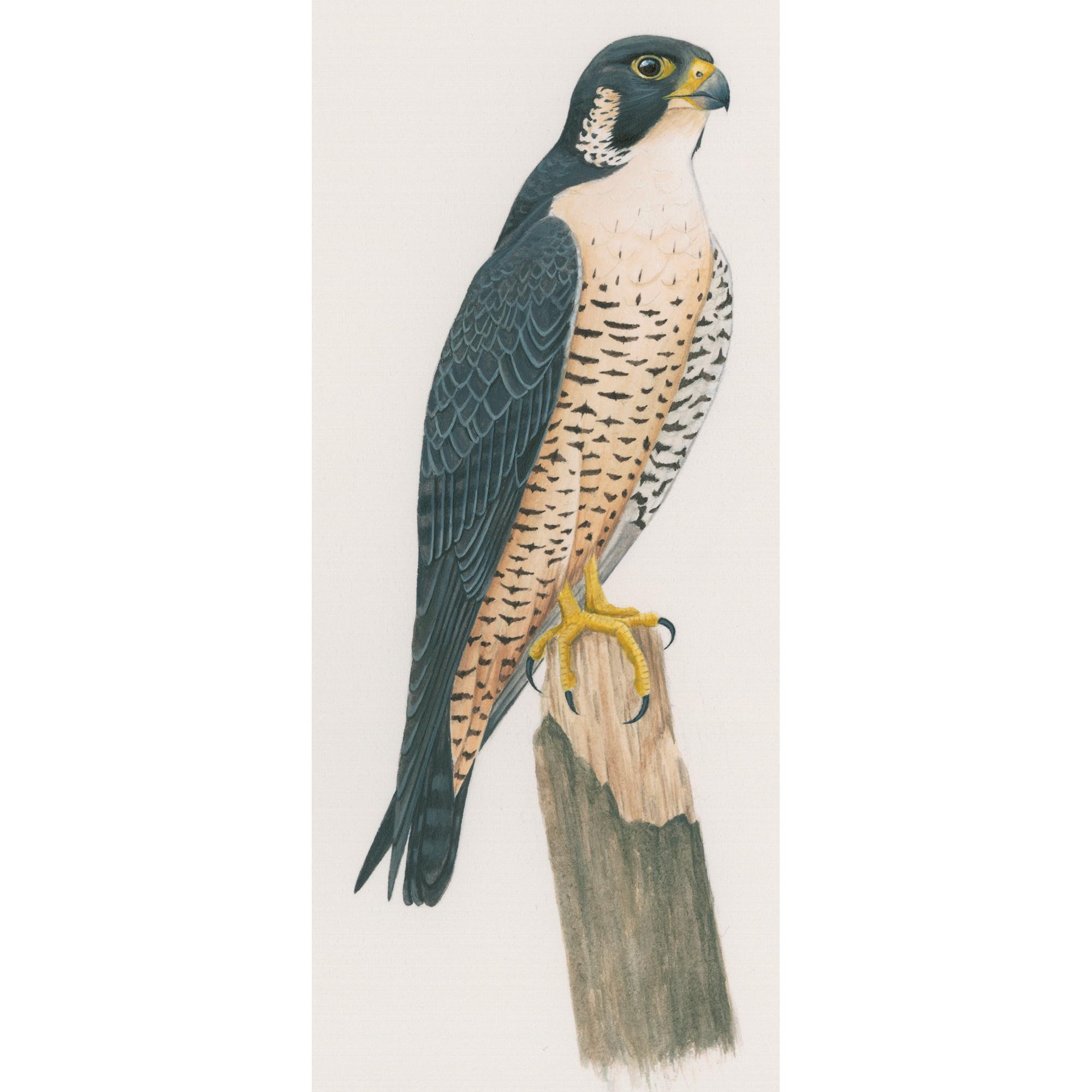 Png hd mart. Falcon clipart peregrine falcon