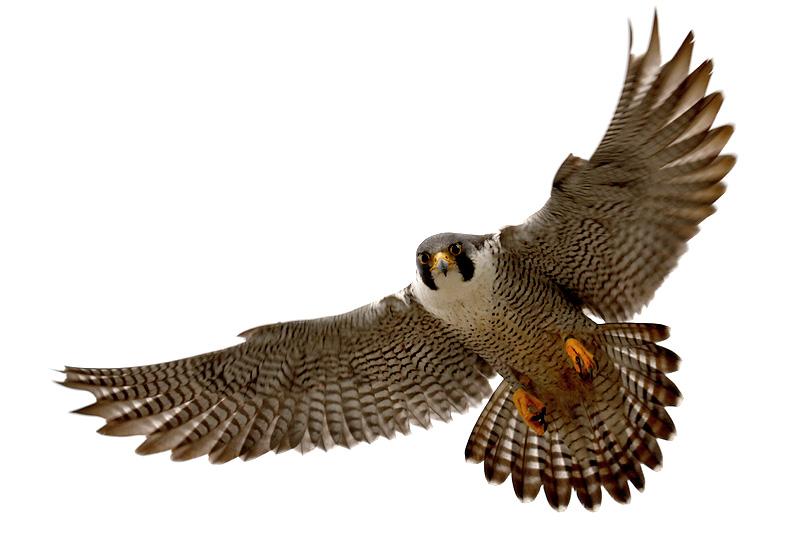 Station . Falcon clipart peregrine falcon