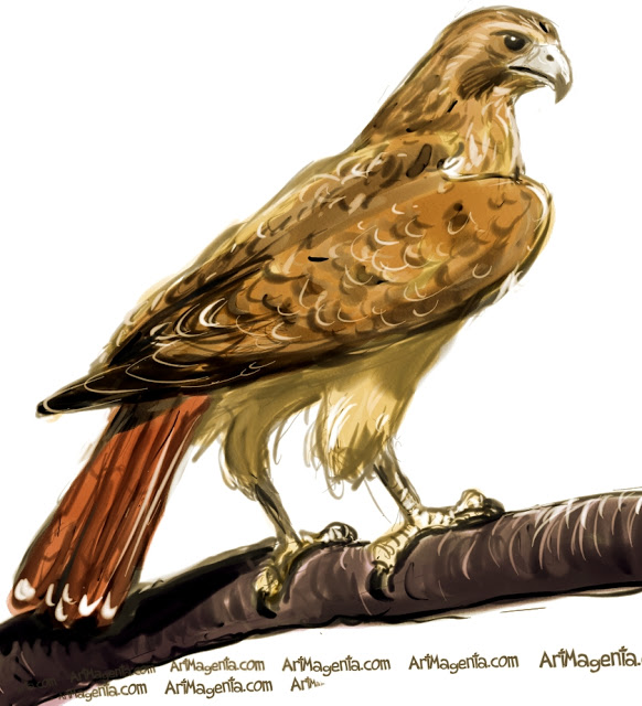 Falcon clipart red tailed hawk. Pencil and inlor