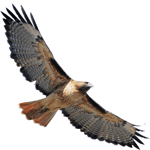 Language kalika magic . Falcon clipart red tailed hawk