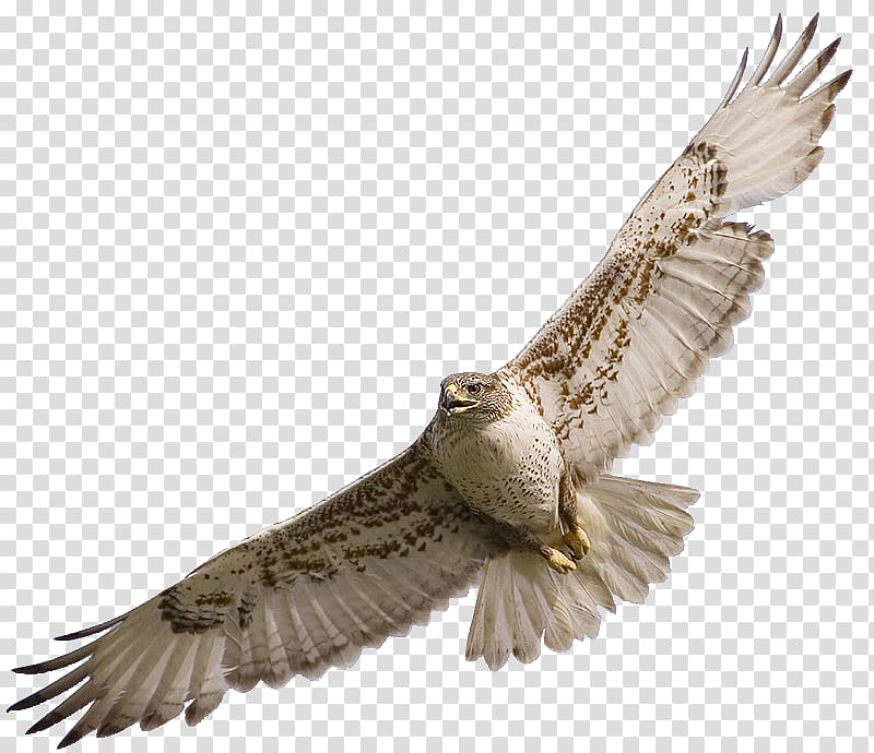 Flying white and brown. Falcon clipart red tailed hawk