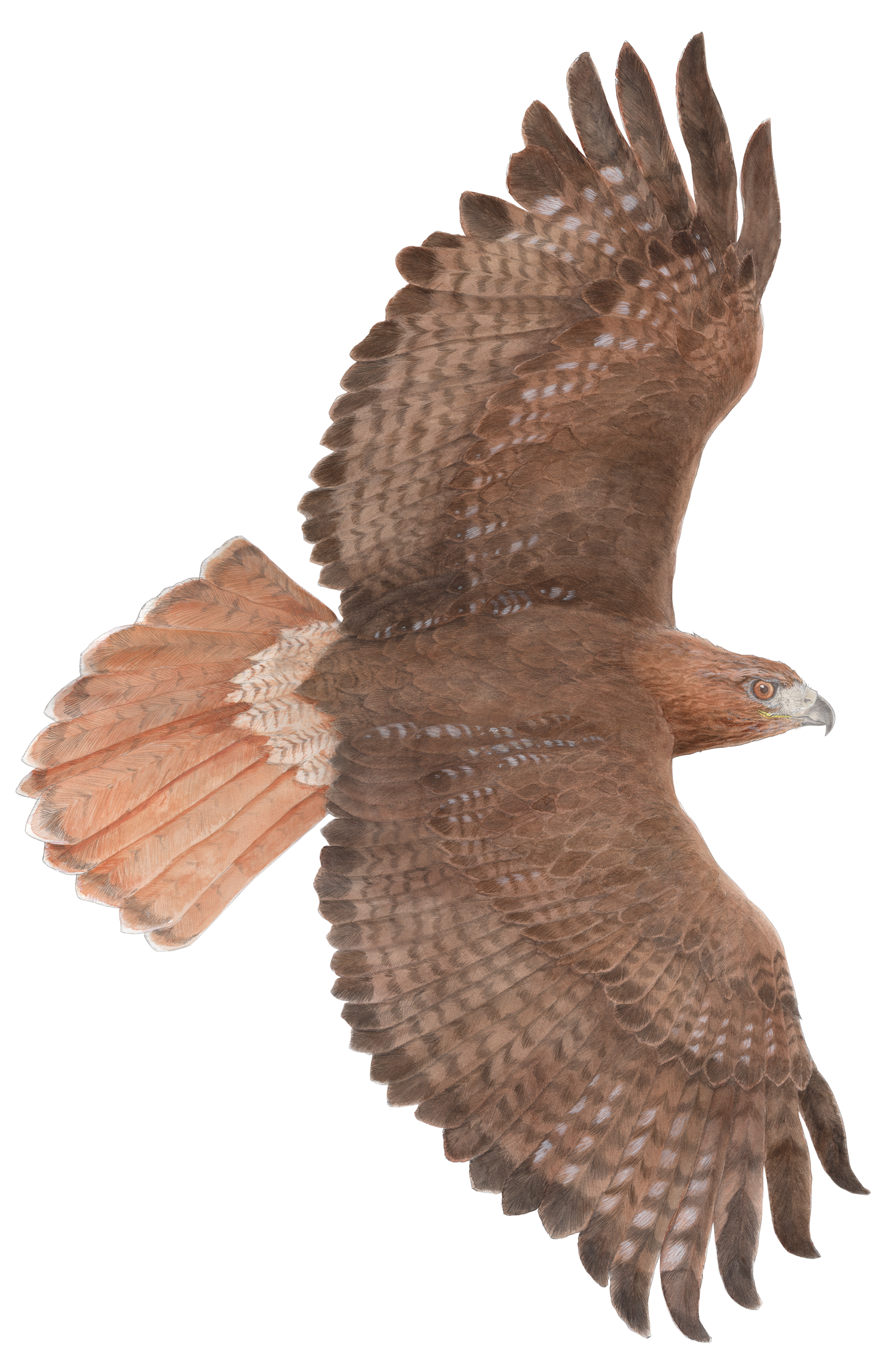 Falcon clipart red tailed hawk.  collection of flying