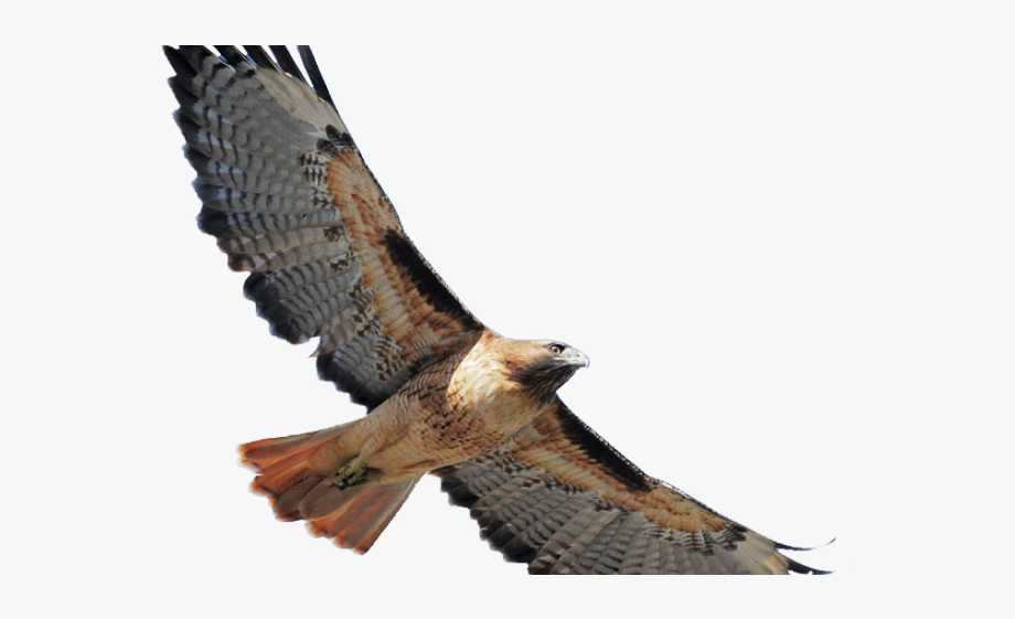 Falcon clipart red tailed hawk. Coopers flying png cliparts