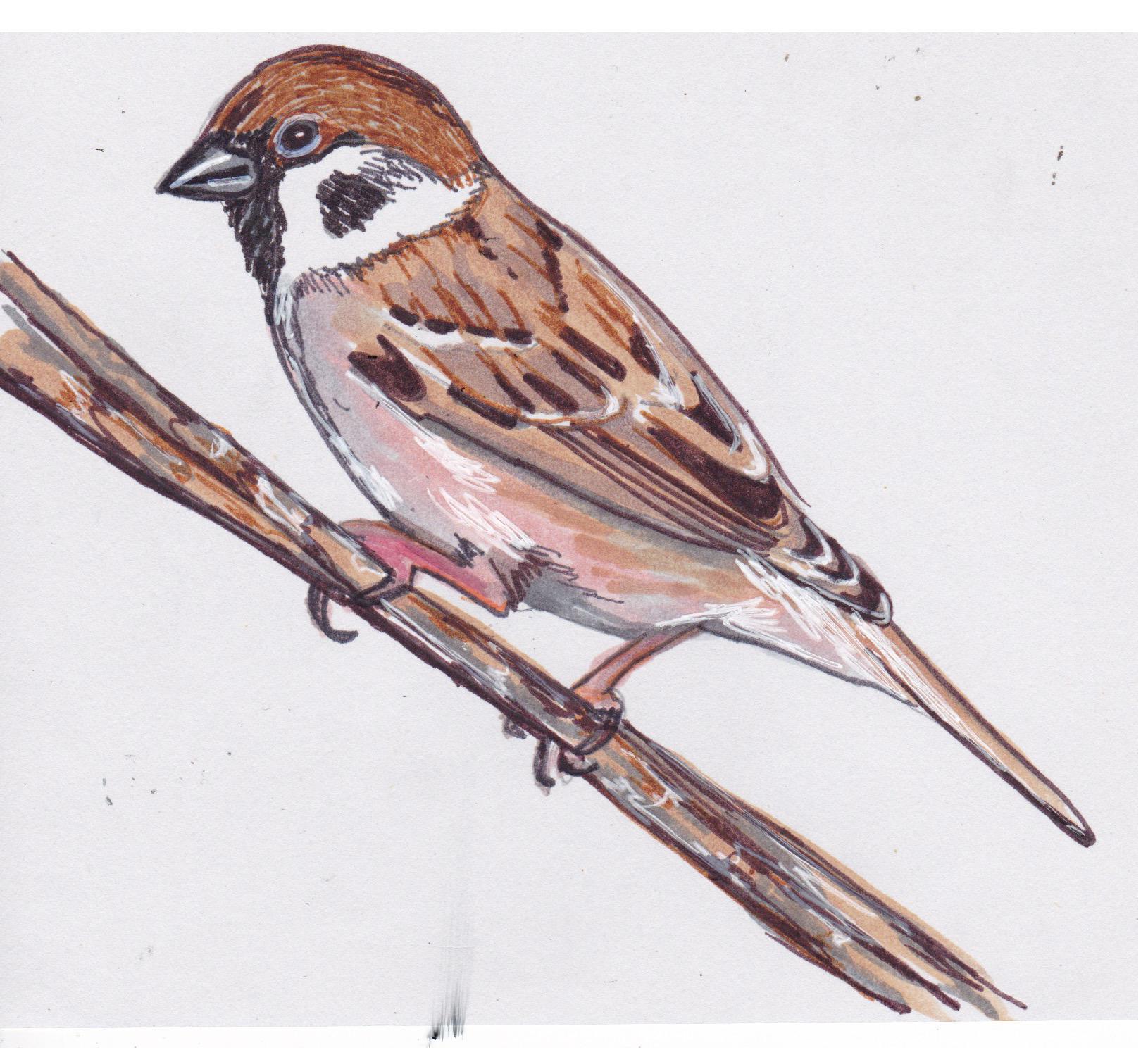 Falcon clipart sparrow. Illustrations bird scout