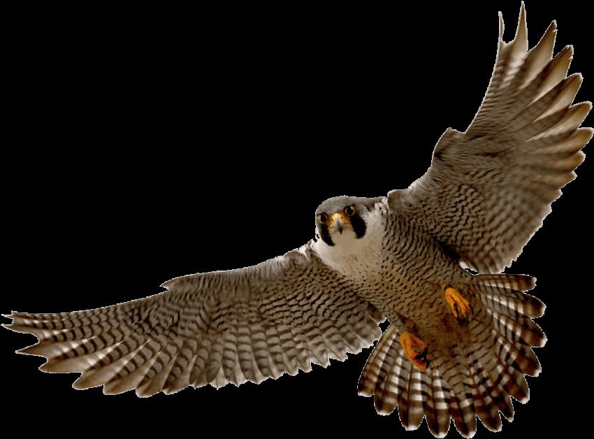 Png transparent images pngio. Falcon clipart sparrow