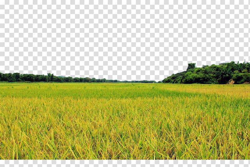 Grass farm lawn crop. Land clipart rice field