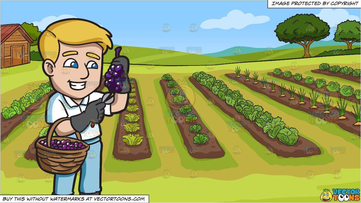 A farmer harvesting grapes. Farming clipart vegetable farm