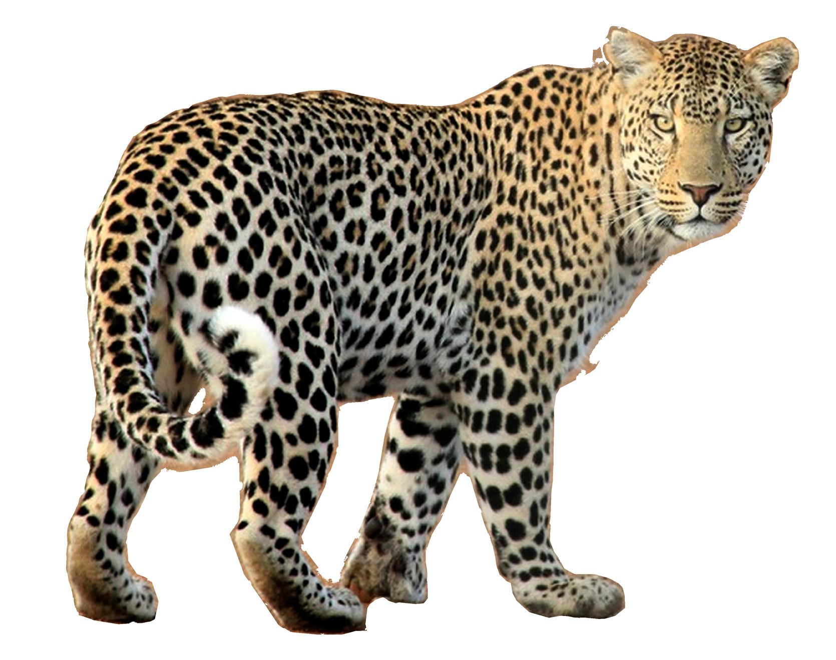Jaguar clipart mammal animal. Leopard png image purepng