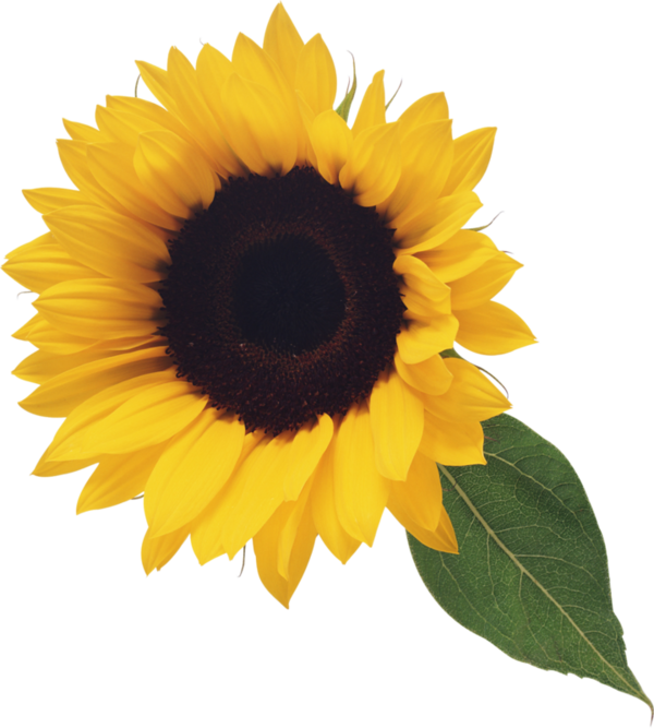 Field clipart sunflowers. Tournesol flowers pinterest magnolia
