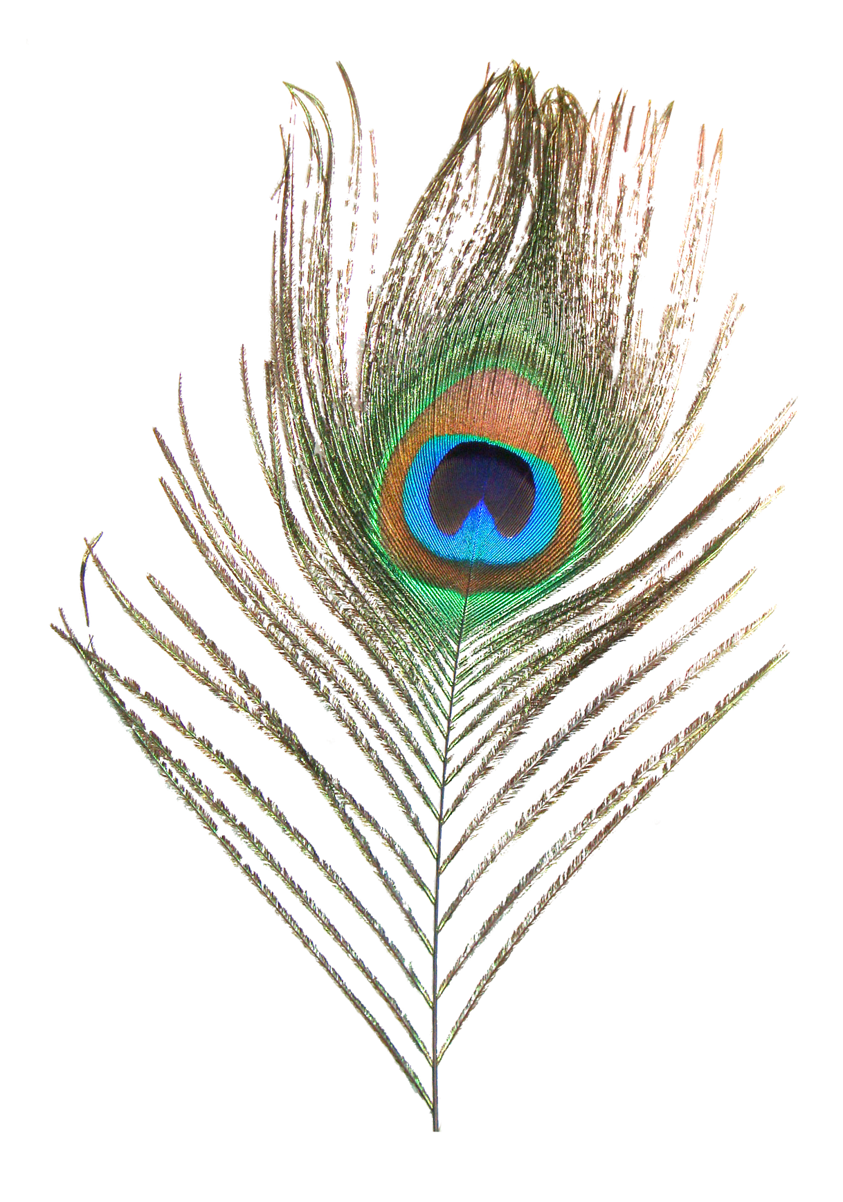 Peafowl clip art peacock. Feather clipart animal