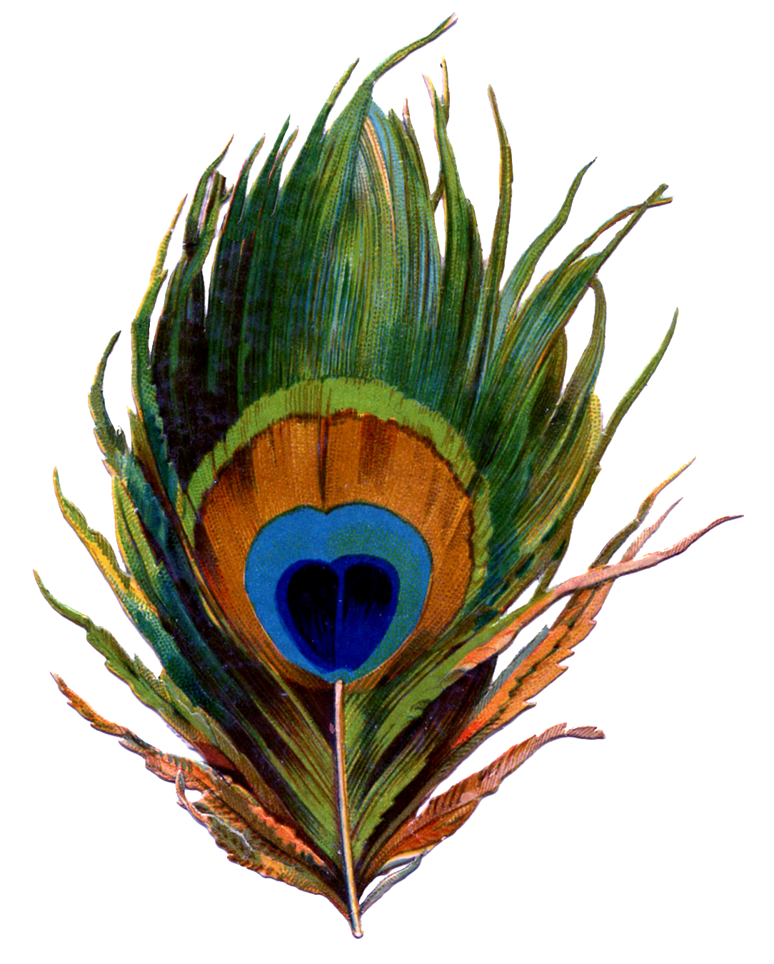 Feather clipart artistic. Peacock png transparent images