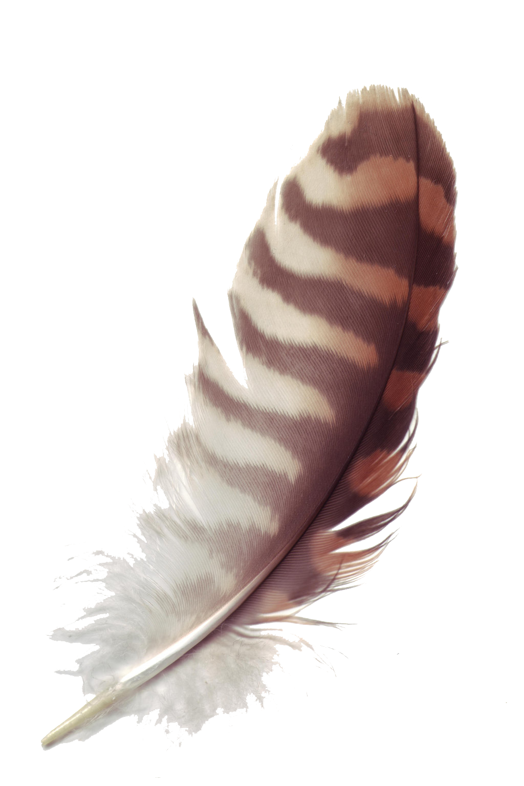 Feather clipart brown. Png transparent images all