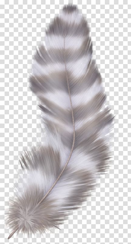 Asiatic peafowl color stripes. Feathers clipart goose feather