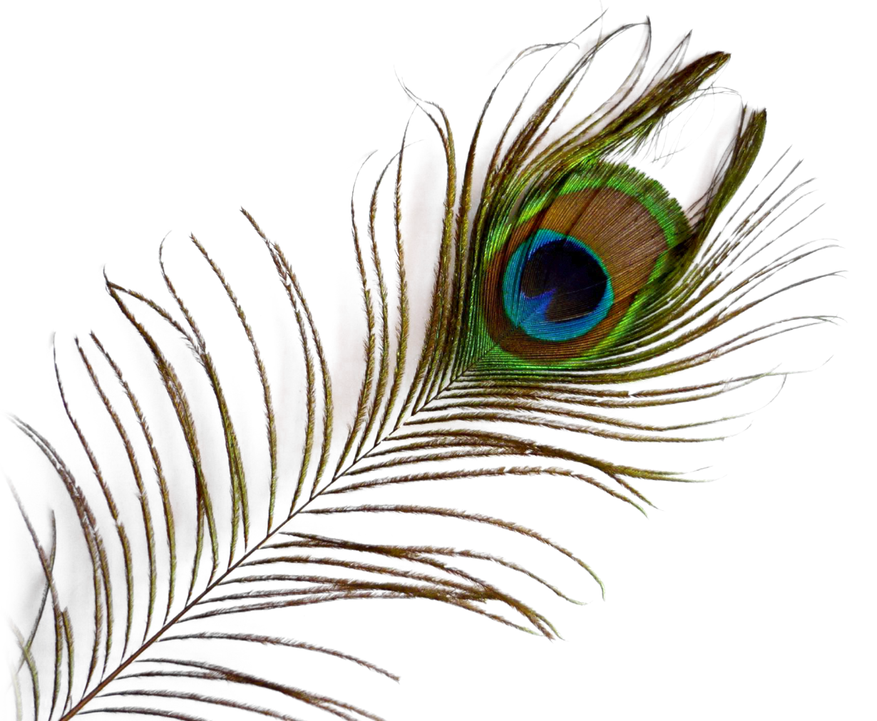 Feather png image purepng. Peacock clipart fether