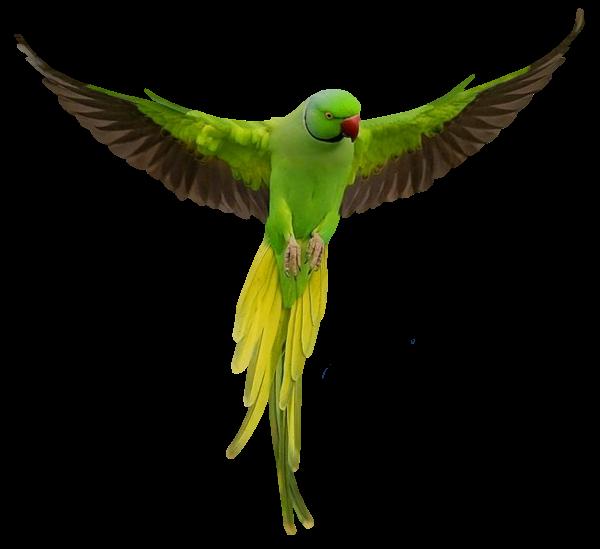 Parrots png transparent images. Parrot clipart beautiful parrot