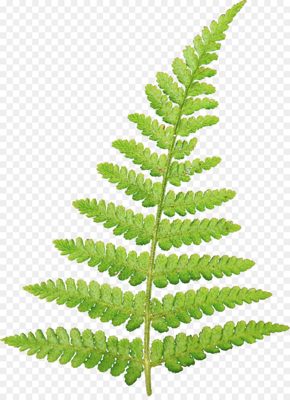 Fern clipart. Leaf information vascular plant