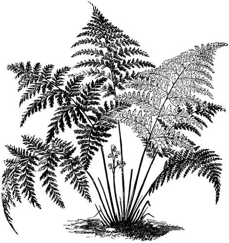 Fern clipart. Pinterest and printmaking httpsflickrpasrje