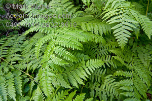 Stock photography acclaim images. Fern clipart