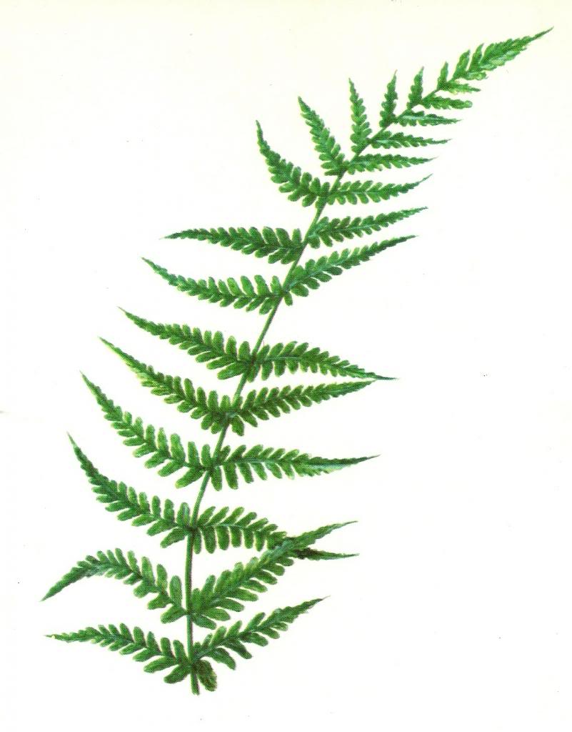Free cliparts download clip. Clipart leaves fern